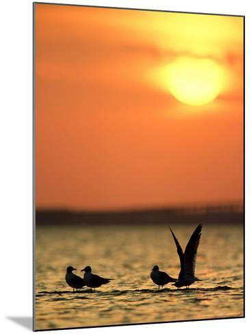 Laughing Gulls, Texas, USA-Olaf Broders-Mounted Photographic Print