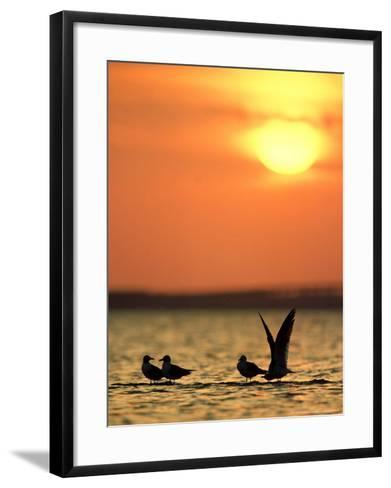 Laughing Gulls, Texas, USA-Olaf Broders-Framed Art Print