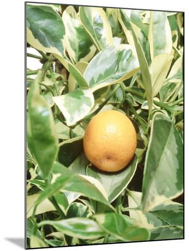 Calamondin Fruit-Sunniva Harte-Mounted Photographic Print