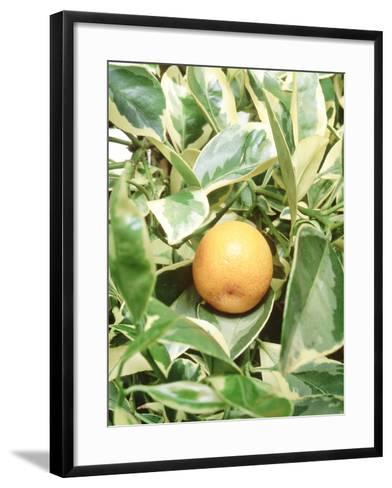 Calamondin Fruit-Sunniva Harte-Framed Art Print