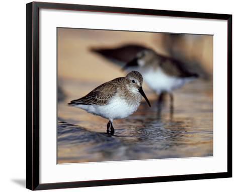 Western Sandpiper, Florida, USA-Olaf Broders-Framed Art Print