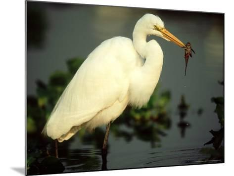 Great Egret, with Fish, Mato Grosso, Brazil-Berndt Fischer-Mounted Photographic Print