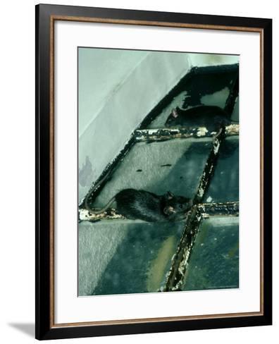 Black Rat, Rattus Rattus-Liz Bomford-Framed Art Print