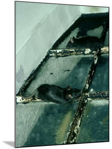 Black Rat, Rattus Rattus-Liz Bomford-Mounted Photographic Print