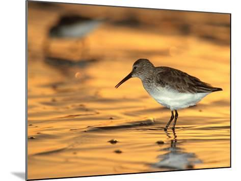 Western Sandpiper, Florida, USA-Olaf Broders-Mounted Photographic Print