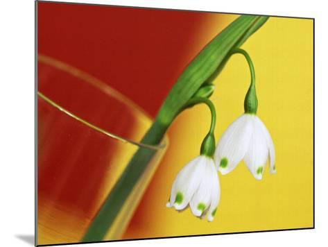 """Leucojum Vernum """"Spring Snowflake"""" in Glass Vase with Red & Yellow Background-James Guilliam-Mounted Photographic Print"""