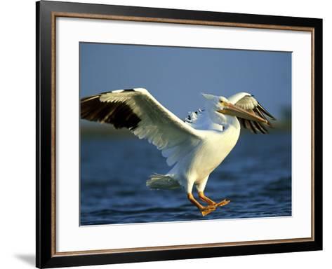 American White Pelican, Texas, USA-Olaf Broders-Framed Art Print