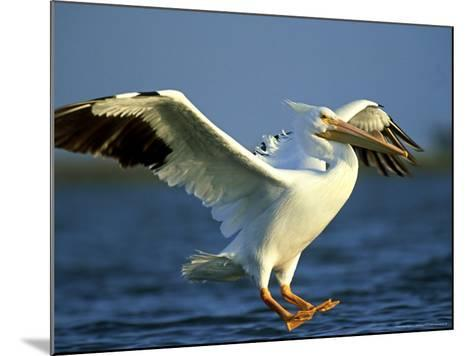 American White Pelican, Texas, USA-Olaf Broders-Mounted Photographic Print