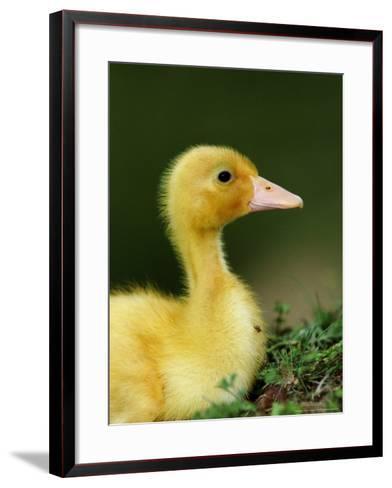 Duckling-Mark Hamblin-Framed Art Print