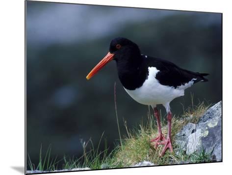 Oystercatcher-Mark Hamblin-Mounted Photographic Print