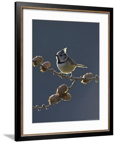 Crested Tit, Adult Backlit, Scotland-Mark Hamblin-Framed Art Print