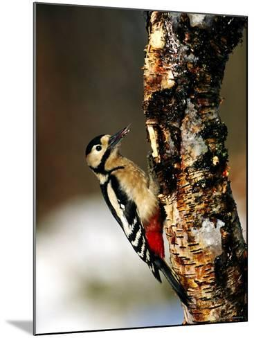 Great Spotted Woodpecker-Mark Hamblin-Mounted Photographic Print