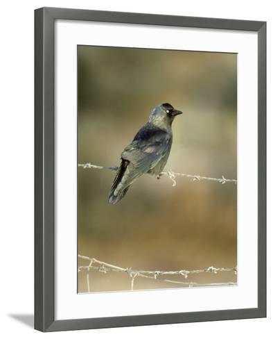 Jackdaw-Mark Hamblin-Framed Art Print