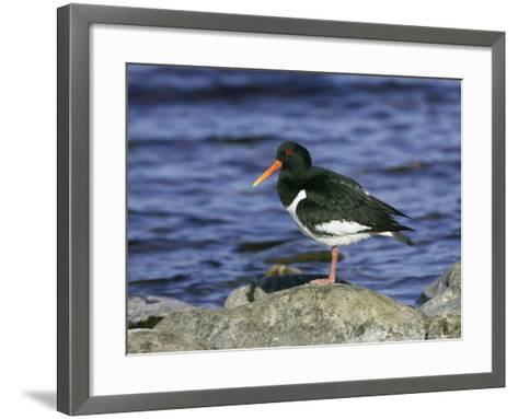 Oystercatcher, Adult Standing on Rock, Scotland-Mark Hamblin-Framed Art Print