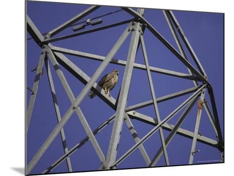 Common Buzzard, Adult on Electricity Pylon, Scotland-Mark Hamblin-Mounted Photographic Print