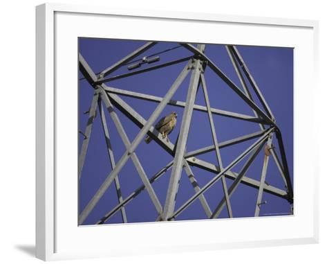 Common Buzzard, Adult on Electricity Pylon, Scotland-Mark Hamblin-Framed Art Print