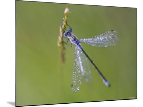 Blue-Tailed Damselfly, Male on Grass Stem, Scotland-Mark Hamblin-Mounted Photographic Print