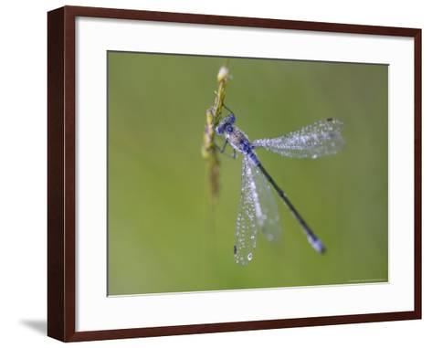 Blue-Tailed Damselfly, Male on Grass Stem, Scotland-Mark Hamblin-Framed Art Print