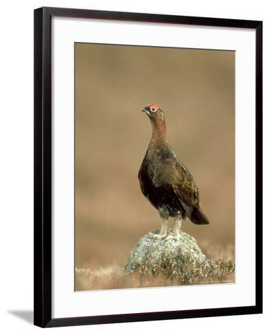 Red Grouse-Mark Hamblin-Framed Art Print
