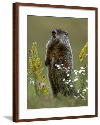 Woodchuck-Mark Hamblin-Framed Art Print