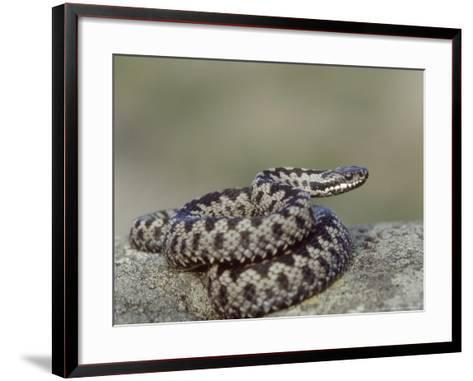 Adder, Male Coiled on Rock, UK-Mark Hamblin-Framed Art Print