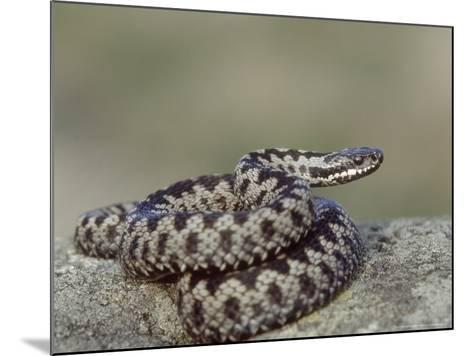 Adder, Male Coiled on Rock, UK-Mark Hamblin-Mounted Photographic Print