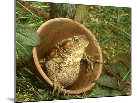 Common Toad, Sitting in Clay Flower Pot, Sheffield-Mark Hamblin-Mounted Photographic Print