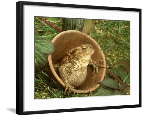 Common Toad, Sitting in Clay Flower Pot, Sheffield-Mark Hamblin-Framed Art Print