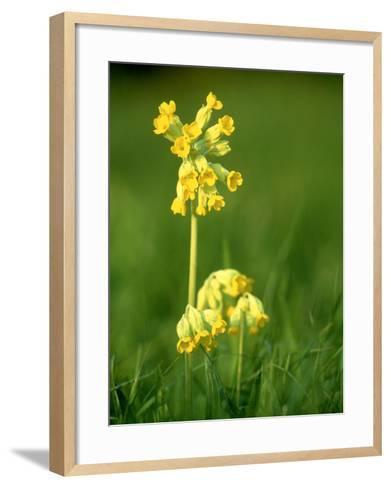 Cowslip-Mark Hamblin-Framed Art Print
