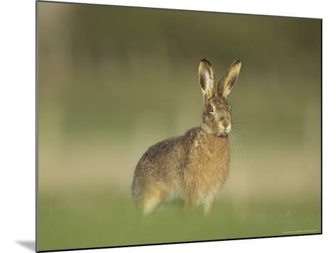 Brown Hare, Adult Alert, Scotland-Mark Hamblin-Mounted Photographic Print