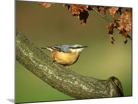 Nuthatch, Sitta Europaea Perched on Log in Autumn UK-Mark Hamblin-Mounted Photographic Print