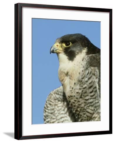 Peregrine Falcon, Close-up Portrait of Adult Male, UK-Mark Hamblin-Framed Art Print