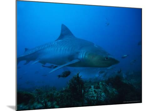 Tiger Shark, Swimming, South Africa-Gerard Soury-Mounted Photographic Print