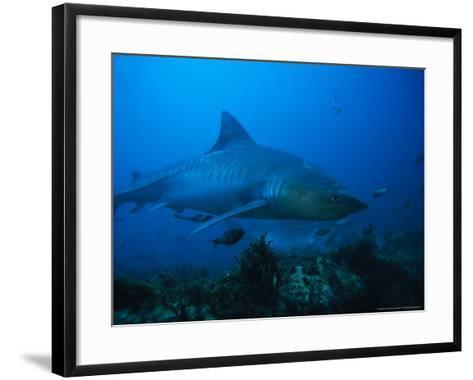 Tiger Shark, Swimming, South Africa-Gerard Soury-Framed Art Print