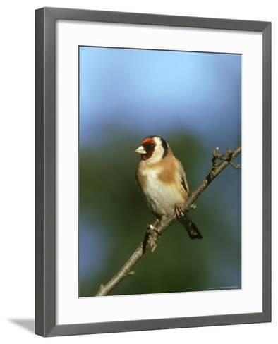 Goldfinch, Carduelis Carduelis Perched on Small Branch UK-Mark Hamblin-Framed Art Print