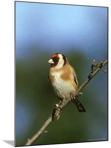 Goldfinch, Carduelis Carduelis Perched on Small Branch UK-Mark Hamblin-Mounted Photographic Print