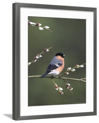 Bullfinch, Male Perched on Pussy Willow, UK-Mark Hamblin-Framed Art Print