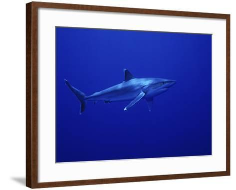 Silvertip Shark, Swimming, Tuamotu, French Polynesia-Gerard Soury-Framed Art Print