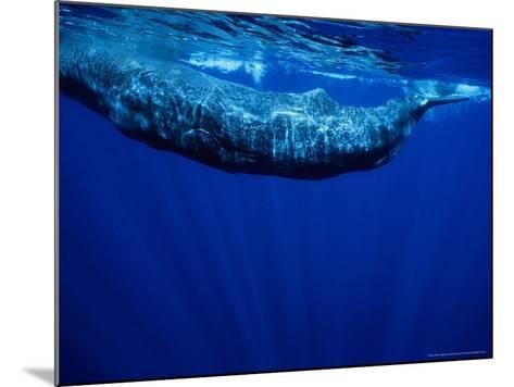 Sperm Whale, Juvenile, Portugal-Gerard Soury-Mounted Photographic Print