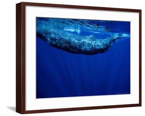 Sperm Whale, Juvenile, Portugal-Gerard Soury-Framed Art Print
