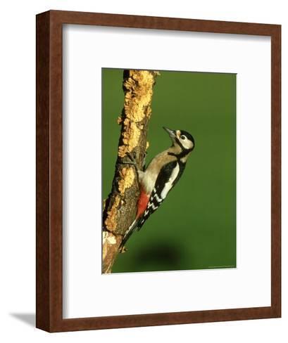 Great Spotted Woodpecker, Portrait-Mark Hamblin-Framed Art Print