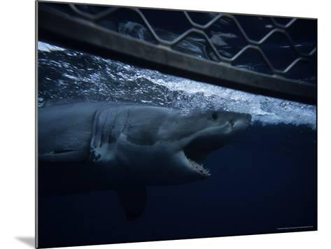 Great White Shark, Swimming by Cage, S. Australia-Gerard Soury-Mounted Photographic Print