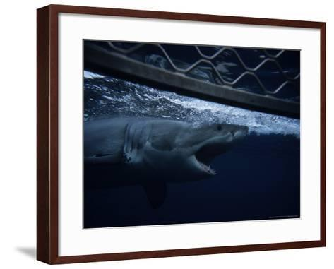 Great White Shark, Swimming by Cage, S. Australia-Gerard Soury-Framed Art Print