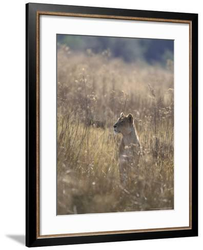 African Lion, Young Male, Southern Africa-Mark Hamblin-Framed Art Print