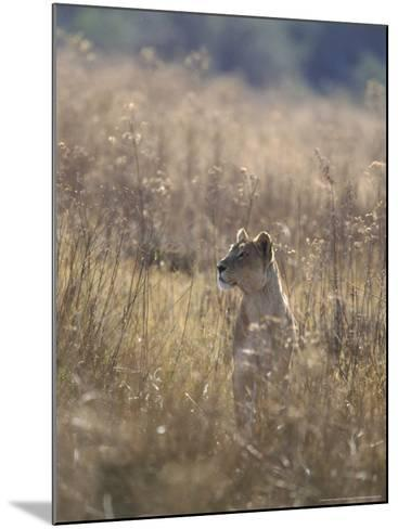 African Lion, Young Male, Southern Africa-Mark Hamblin-Mounted Photographic Print