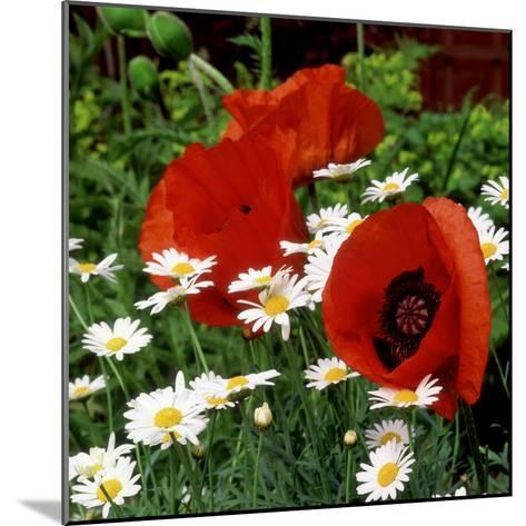"""Oriental Poppy """"Marcus Perry"""" and Marguerite-James Guilliam-Mounted Photographic Print"""