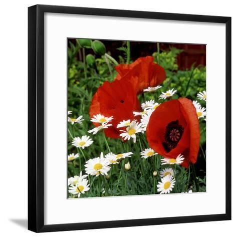"""Oriental Poppy """"Marcus Perry"""" and Marguerite-James Guilliam-Framed Art Print"""