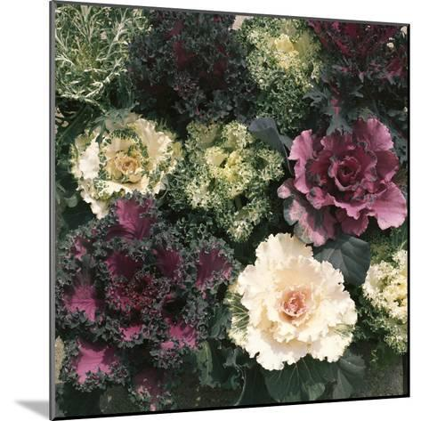 Ornamental Cabbage, Mixed Autumn and Winter-Michele Lamontagne-Mounted Photographic Print