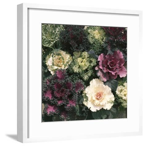 Ornamental Cabbage, Mixed Autumn and Winter-Michele Lamontagne-Framed Art Print