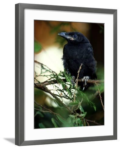 American Crow, British Columbia-Olaf Broders-Framed Art Print